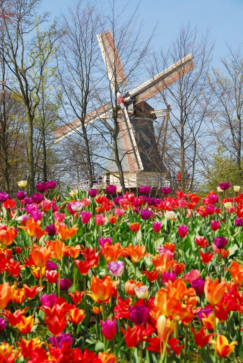 Windmühle im Keukenhof. Bild: Keukenhof